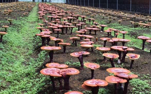 培植赤靈芝