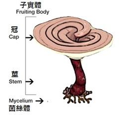 子实体、菌丝体和孢子